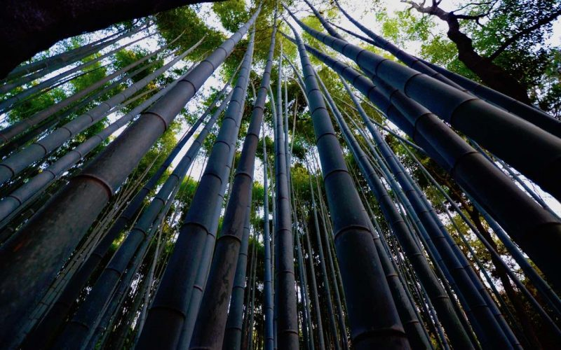 Tall bamboo trees