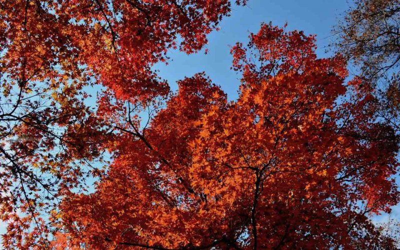 Autumn leaves that are bright red are against a clear blue sky