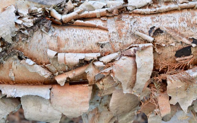 Close up of a tree branch. The thin paper-like bark is peeling off.